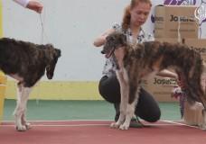 III-я выставка собак борзых пород, посвященная памяти П.М.Волконского